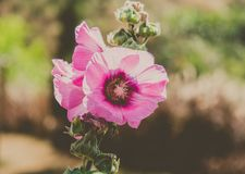 Pink hollyhocks with morning sunlights. Stock Photo