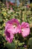 Pink hollyhocks with morning sunlights. Stock Images