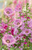 Pink hollylhock. In the garden,soft fucus Stock Images