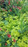 Pink honeysuckle and iris stems with bright green creeping groundcover. Springtime Pink honeysuckle and iris stems with bright green creeping ground cover in Stock Photo