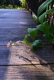 Pink honolulu creeper, garden wood path Royalty Free Stock Image