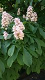 Pink horse chestnut flowers Royalty Free Stock Images