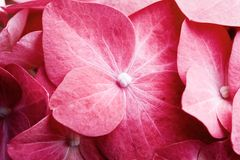 Pink hortensia Stock Image