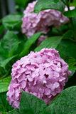 Pink hortensia Stock Photos