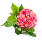 Pink hortensia blossom. fresh hydrangea flower Royalty Free Stock Photography