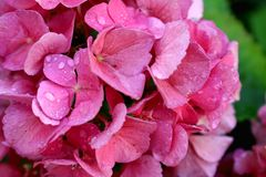 Pink hortensia blossoms with water drops and green background stock photos