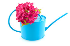 Pink hortensia with blue watering can. Isolated on white background stock image