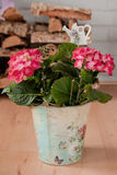 Pink hortensia in bucket Royalty Free Stock Images