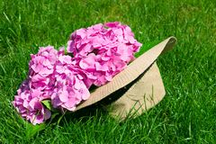 Pink Hortensia in cloak from the sun on the background of green grass. Concept of rest. royalty free stock photo