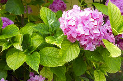 The pink Hortensia close up. A large pink Hortensia close up Stock Image