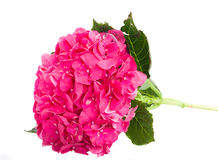 Pink hortensia flower branch Stock Photo