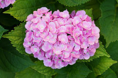 Pink hortensia flower. Pink hortensia (hydrangea) flower blooming in early July Stock Images
