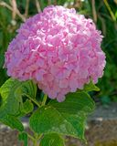 Pink Hortensia flower natural bouquet stock image