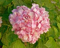 Pink Hortensia flower natural bouquet stock images