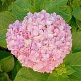 Pink Hortensia flower natural bouquet royalty free stock photography