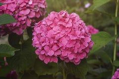 Pink hortensia flowerhead. Pink hortensia or hydrangea flowerhead in a garden Stock Photo