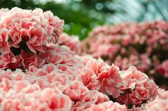 Pink hortensia flowers. Bush of pink hortensia flowers against blurred background Stock Images