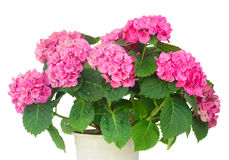 Pink  hortensia flowers Stock Photos