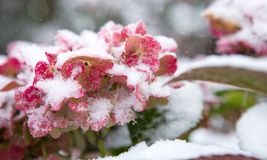 Pink Hortensia flowers in the snowfall. Winter background. stock photos