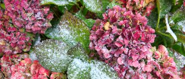 Pink Hortensia flowers in the snowfall. Winter background. stock images
