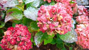 Pink Hortensia flowers in the snowfall. Winter background. royalty free stock images
