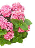 Pink  hortensia flowers Stock Photo