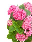 Pink  hortensia flowers Stock Images