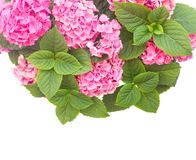 Pink  hortensia flowers Royalty Free Stock Photography