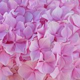 Pink Hortensia flowers natural pattern background royalty free stock photography