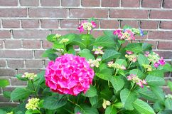 Pink Hortensia flowers old brick wall, Netherlands Royalty Free Stock Photos