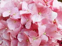 Pink hortensia flowers with raindrops close up. Hydrangeaceae stock images