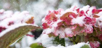 Pink Hortensia flowers in the snowfall. Winter background. royalty free stock image