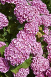 Pink Hortensia in the garden Stock Image