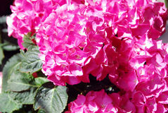 Pink hortensia Stock Image