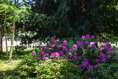 pink hortensia in historical city park stock photos