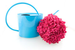 Pink hortensia hydrangea. Pink hortensia with blue watering can Royalty Free Stock Photography