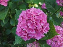 Pink hortensia (Hydrangea) flower. Of order Cornales Hydrangeaceae flower bloom royalty free stock photo