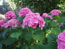 Pink hortensia (Hydrangea) flower. Of order Cornales Hydrangeaceae flower bloom royalty free stock images