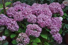 Pink hortensia (Hydrangea) flower. Of order Cornales Hydrangeaceae flower bloom stock images