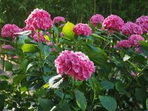 Pink hortensia (Hydrangea) flower. Of order Cornales Hydrangeaceae flower bloom royalty free stock photography