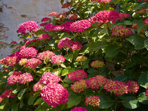 Pink Hortensia Hydrangea flowers growing in the garden Royalty Free Stock Images