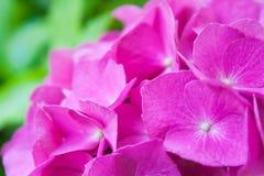 Pink Hortensia. Macro of pink hortensia Stock Photos