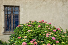 Pink hortensia plant in front of wall. Light pink to darker pink hortensia flowers on large bush growing in front of a beige wall with antique style window with Stock Images