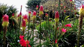 Pink and yellow Hot Poker Kniphofia Flower in blossom at botanic garden Auckland. Pink Hot Poker Kniphofia Flower in blossom at botanic garden in Royalty Free Stock Photos
