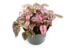 Pink Houseplant. With white background Stock Photography