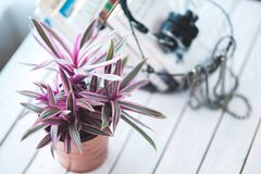 Pink houseplant for decoration Royalty Free Stock Images
