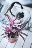 Pink houseplant for decoration Stock Photo