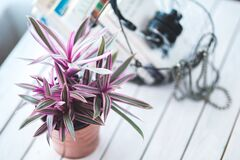 Pink houseplant for decoration Royalty Free Stock Photo