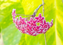 Pink hoya flowers. Stock Photo