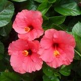 Pink Hubicus flower Royalty Free Stock Image